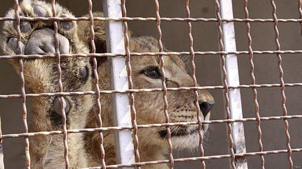 شیرهایی که در خیابان های تهران پیدا شدند